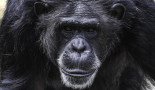 The genome of chimpanzees and gorillas could help to better understand human tumours