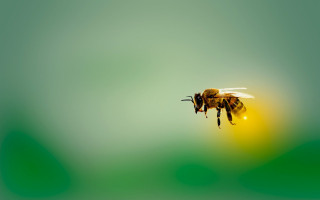 Venom from honeybees found to kill aggressive breast cancer cells